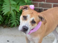 ~~PRETTY LITTLE 5 YR OLD GIRL TO BE DESTROYED 7/30/14~~ Brooklyn Center -P  My name is PATTY. My Animal ID # is A1007208. I am a female tan and white am pit bull ter mix. The shelter thinks I am about 5 YEARS old.  I came in the shelter as a STRAY on 07/18/2014 from NY 11234, owner surrender reason stated was ABANDON.