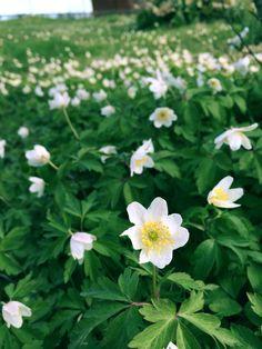 Flowet, Blomma, Blommor, Vitsippor, Vår, Grönt