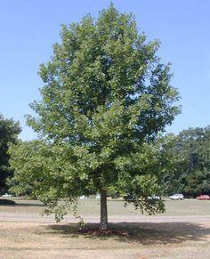 Oak, OvercupQuercus lyrata. 94cc.jpg (324×400)