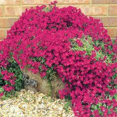 Aubrieta Cascade Red - RoyalPlant.ro Gypsophila, Red, Gardens, Plants