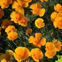 ESCHSCHOLZIA ESCHSCHOLZIA-AURANTIACA (Eschscholzia californica)-orange - Graineterie A. DUCRETTET