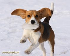 Flying Beagle!