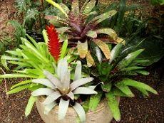 Growing a Bromeliad and How to care for a bromeliad plant via gardeningknowhow.com