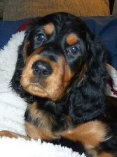 Gordon Setter pup