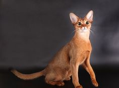 abyssinian cat facts info