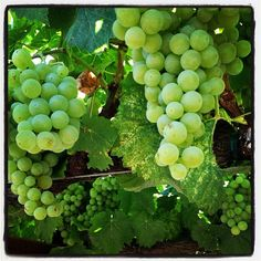 Beautiful grapes at Whitehall Lane Winery, Photo by whitehalllane Wine Vineyards, Growing Grapes, Harvest Time, Sauvignon Blanc, Grape Vines, Wines, Summer, Home And Garden, Canning