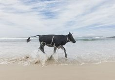 amaMpondo: cows at the beach