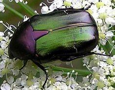"""Autre Protaetia sp. proche de P.affinis - Variant hispanique de la """"Cétoine dorée"""" : Cetonia aurata hispanica, 22-28 mm."""