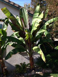 Red Banana tree!
