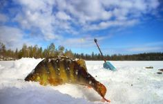 Ahven – kansalliskala Independence Day, Finland, Blue And White, Shovel, Childhood, Outdoor, Infancy, Diwali, Outdoors