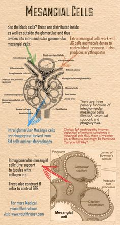 Function of Mesangial Cells in #Kidney Repinned to Dating4Disabled http://www.dating4disabled.com/