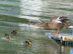 Ducks - Photo: Beata Bauer
