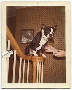 Vintage Boston Terrier snapshot
