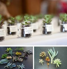 Organic gifts given at weddings. Such as these little succulent green jar favors tied with a label where there are written the names of the newlyweds. http://ohcrafts.net/wedding-succulent-favors.php# The succulents can be found at The Succulent Garden, to prepare them later in your home, potting and decorating them.