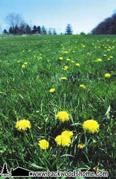 Making dandelions palatable By John Kallas, Ph.D - Who knew that pesky little lawn nuisance could be downright tasty?