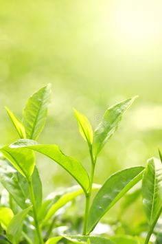 Photo about Tea Leaf with Plantation in the Background (Morning). Image of farmland, bush, background - 6472391 Green Tea Plant, Buy Tea, Healing Oils, Tea Benefits, Parts Of A Plant, Tea Tree Essential Oil, Tea Tree Oil, Seed Oil, Plant Leaves