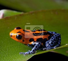 Vinilo rayas rojas venenosas ranas azules piernas - rainforest • PIXERS.es