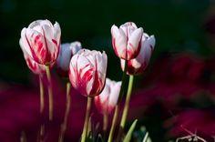 #Blumen. 4 Phasen einer #Beziehung - 1. Phase #Frühling Aufbauphase: http://www.beziehungsratgeber.net/beziehungstipps/4-phasen-einer-beziehung-tipps/