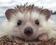 Meet the World's Most Well Travelled Hedgehog (PHOTOS)