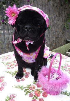 This bonnet! oh dear. #love #pugs #puglove #pugilicious #pugsarethebest #dogoutfits #doglovers #doglove #pug