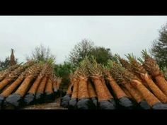 Sabal palmettom The Originals, Plants, Plant, Planets