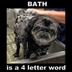 Poor old pug hates his bath