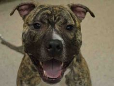 Manhattan Center ROCK – A1032543 MALE, BR BRINDLE / WHITE, AM PIT BULL TER, 2 yrs OWNER SUR – EVALUATE, NO HOLD Reason TOO BIG Intake condition EXAM REQ Intake Date 04/08/2015 http://nycdogs.urgentpodr.org/rock-a1032543-manhattan-ny/