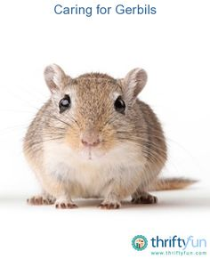 This guide is about caring for gerbils. These small, lively pets are inexpensive to keep and interesting to watch.
