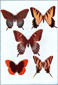 Animal - Educational Plate - Insect - Butterfly - Mexican_Butterflies