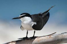 "Tim Henderson on Twitter: ""Bridled Tern, found (almost) everywhere on Lady Elliot Island. #birdwatching #birdphotography… "" Birdwatching, Great Pictures, Island, Twitter, Lady, Islands, Birds"
