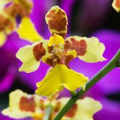 Oncidium is also referred to as The Dancing Lady orchid and offers loads of small flowers in clusters of 50 or even more. It comes in colors like yellow, tricolor and red. It smells just like chocolates which makes them all the more irresistible. The flower needs abundant lightening and regular watering to grow. It is very sensitive and prone to rotting because of its large pseudo bulbs and profuse roots. Thus it is very important to keep the plant well hydrated. It thrives on a few hours of…