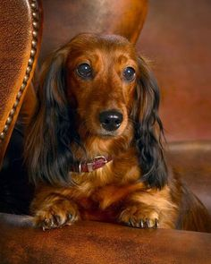 A study in brown, what a beautiful dachshund face. Excellent photography. (Knut Hoftun Knudsen)