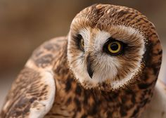 Short-eared have my favorite owl-faces. A bit heavy on the eyeliner, but it sure makes those golden eyes pop.