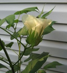 Cotton plant - genus Gossypium - For fun, I thought I'd grow a cotton plant this year.  This is its beautiful flower.