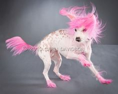 !!! i used to do this to my dog. - pink chinese crested!