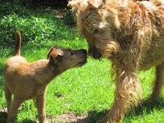 Adorable irish terrier puppy I play nose to nose with my dad that's much Fun . Adorable irish terrier puppy I play nose to nose with my dad that's much Fun . Terrier Mix, Terrier Dogs, Pitbull Terrier, Terriers, Happy Puppy, Happy Dogs, Scottish Deerhound, Irish Wolfhounds, Lakeland Terrier
