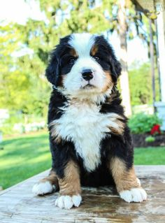 Banjo - Bernese Mountain Dog Puppy for Sale in Rebersburg, PA   Lancaster Puppies