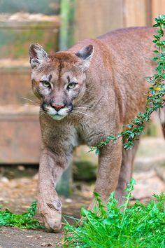 Walking puma, again / Tambako the Jaguar, via Flickr