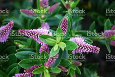 New Zealand Hebe Flower Royalty Free Stock Photo Hazelnut Tree, Hardy Geranium, Sun Loving Plants, Different Shades Of Green, Beach Gardens, Blooming Plants, Deciduous Trees, Edible Plants, Branches