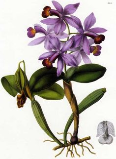 This lithograph of Cattleya violacea was done by Sarah Ann Drake (1803-1857) for John Lindley's Sertum Orchidaceum, published in 1838.