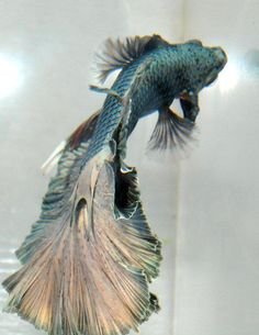 wow - this is a Siamese fighting fish. They are fresh water aquarium fish. Pretty cool eh?