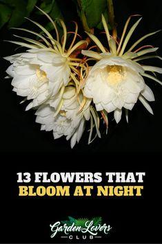 13 Flowers that Bloom at Night (Photos) Night Blooming Flowers, Night Flowers, Blooming Plants, Flowering Plants, Moon Garden, Dream Garden, Fruit Flowers, Planting Flowers, Primrose Plant