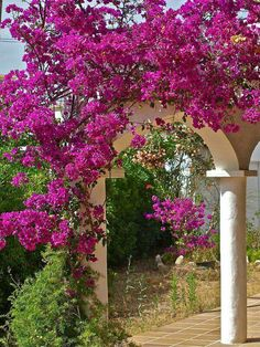 Bougainvillea growing on lovely stone arch ways.