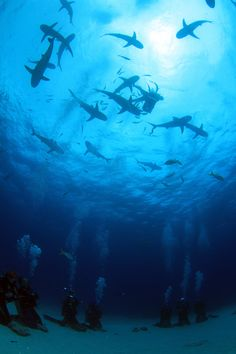 Black tip reef sharks, Nassau, Bahamas.