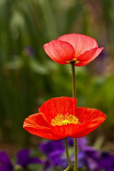 ~~Poppies by mclcbooks~~