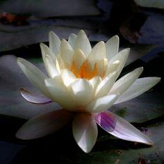 lotus - my favorite flower