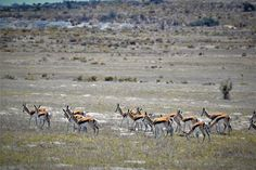 These beautiful springbok are just one of the resident game species at !Khwa Ttu where we do game surveys to keep track of population numbers and dynamics. #CapeTownVolunteer #CTRCI