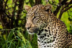 South African Leopard by Rahul Rana on 500px