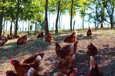 Le nostre #galline libere di razzolare all'aperto!