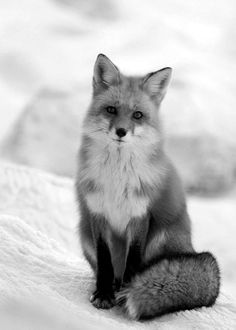 What does the fox sayyy